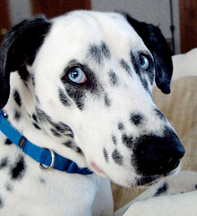 Dalmatians with blue eyes are not blind