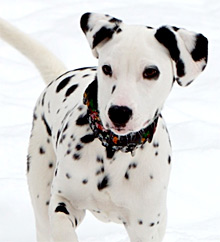 Dalmatians need a safe place to exercise off-lead on a daily basis and lots of walks