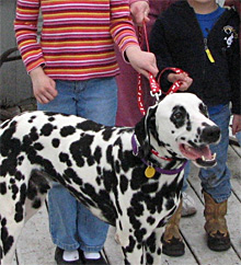 Well-trained Dalmatians are good with well-behaved children. We do not place Dals with very young children. We believe dogs and children of any age should be supervised at all times