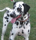 What Does a Dalmatian Look Like?