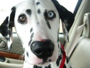 A Dalmatian with one brown and one blue eye.