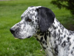 Calvin a Lovable Dalmatian Mix